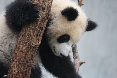 giant panda, baby panda, hold a baby panda, animal experiences